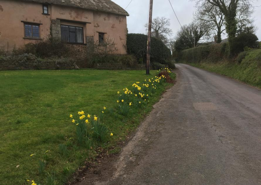 Daffodils on the road to the village hall at Higher Town